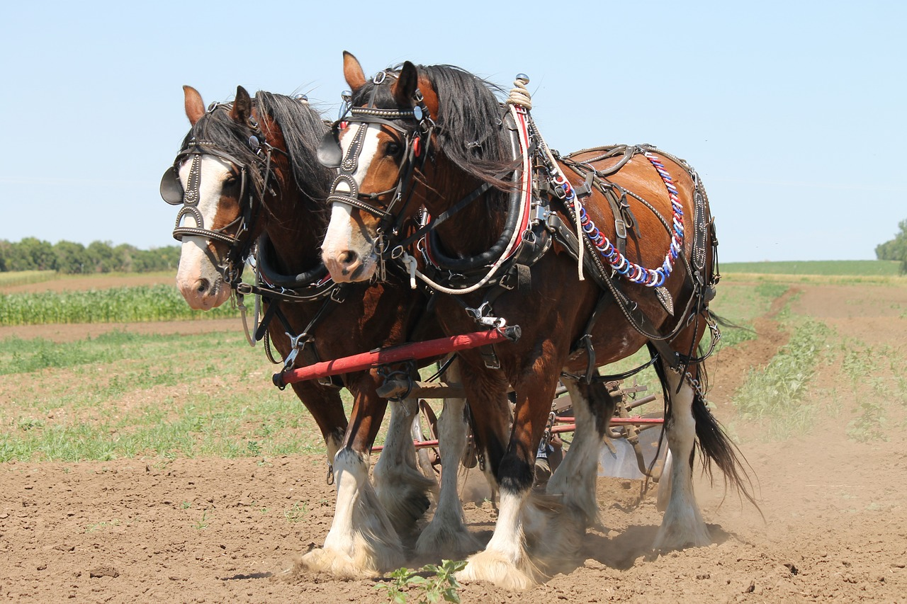 clydesdale, plowing, horse